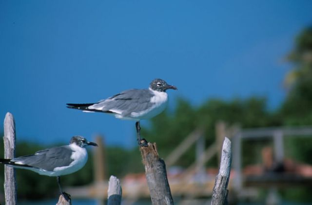 Laughing Gull (Larus atricilla) Picture