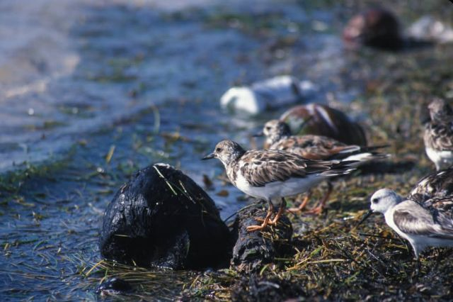 Ruddy turnstone (Arenaria interpres) Picture