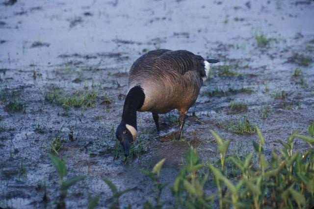 Canada goose (Branta canadensis) Picture