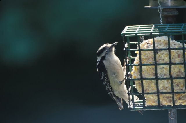 Downy Woodpecker (Picoides pubescens) Picture