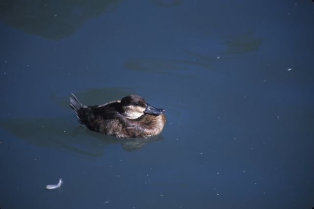 Ruddy Duck (Oxyura jamaicensis) Picture