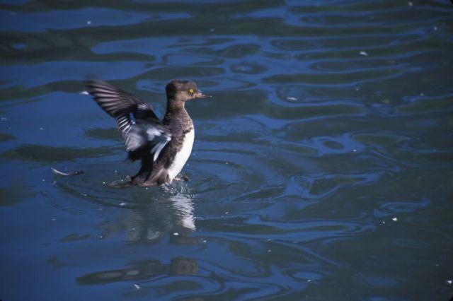 Red-breasted Merganser Duck (Mergus serrator) Picture