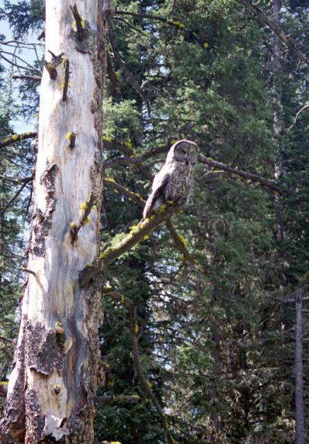 Great Gray Owl (Strix nebulosa) Picture