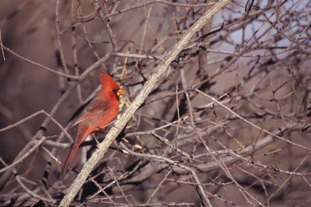 Northern Cardinal (Cardinalis cardinalis) Picture