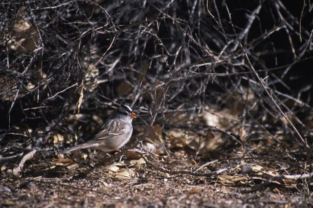 White-crowned Sparrow (Zonotrichia leucophrys) Picture