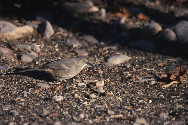 Curve-billed Thrasher (Toxostoma curvirostre) Picture
