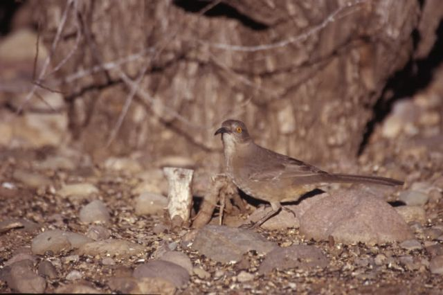 Curved-billed Thrasher (Toxostoma curvirostre) Picture