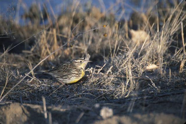 Western Meadowlark (Sturnella neglecta) Picture
