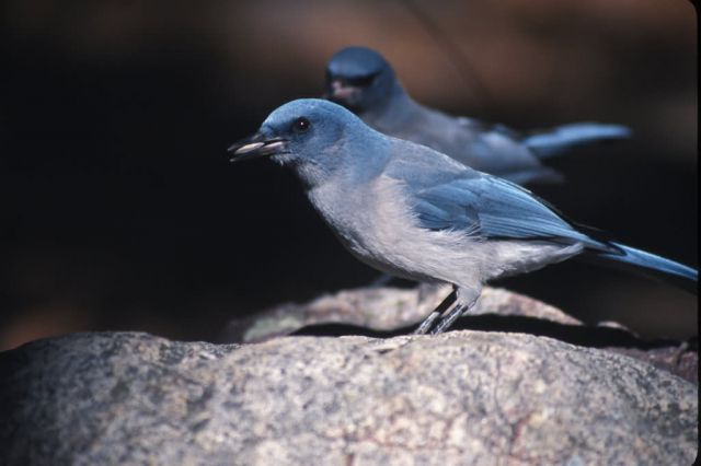 Gray-breasted Jay (Aphelocoma ultramarina) Picture