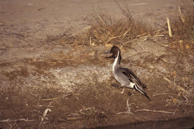 Northern Pintail (Anas acuta) Picture