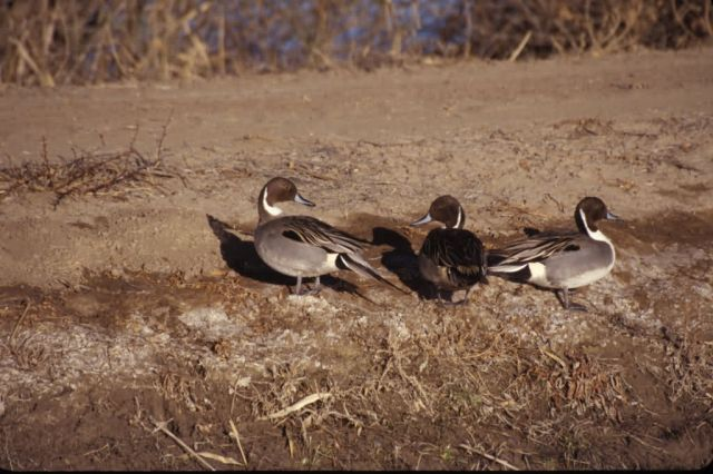 Northern Pintails (Anas acuta) Picture