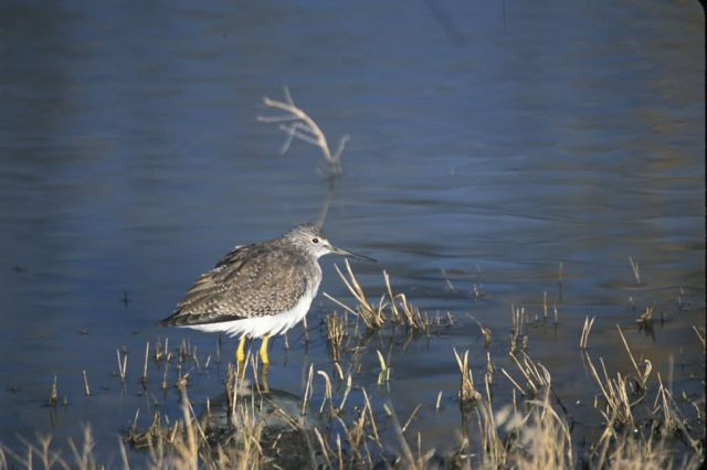 Greater Yellowlegs (Tringa melanoleuca) Picture
