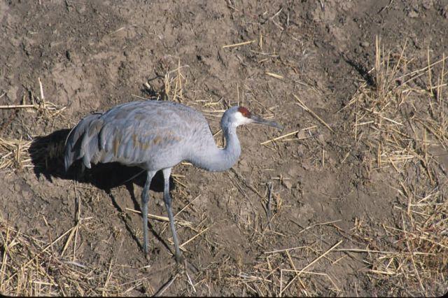 Sandhill Crane (Grus Canadensis) Picture
