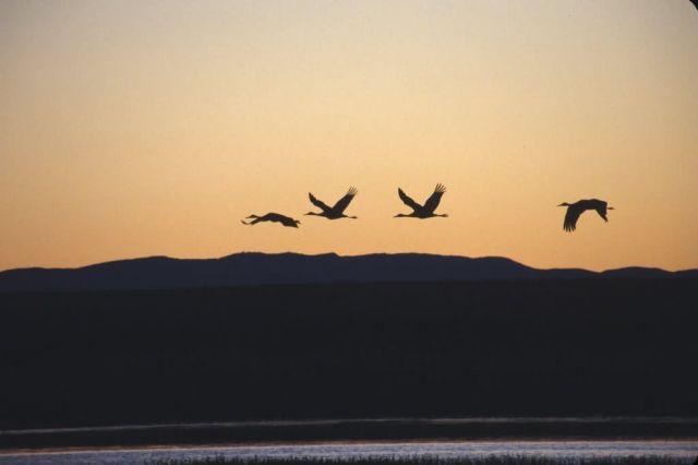 Sandhill Cranes and Sunrise Picture