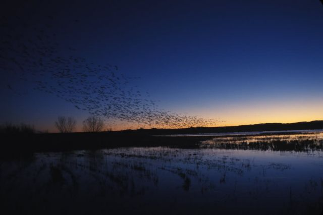 Snow Geese (Chen caerulescens) Picture