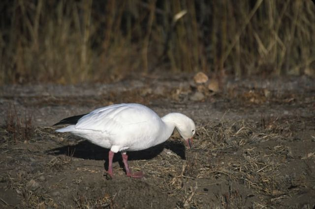Snow Goose (Chen caerulescens) Picture