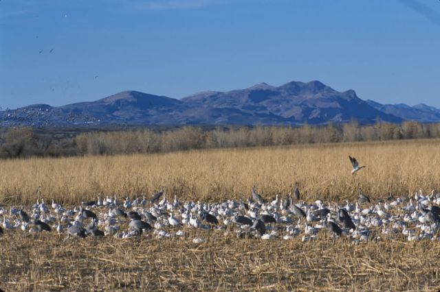 Snow Geese and Sandhill Cranes Picture