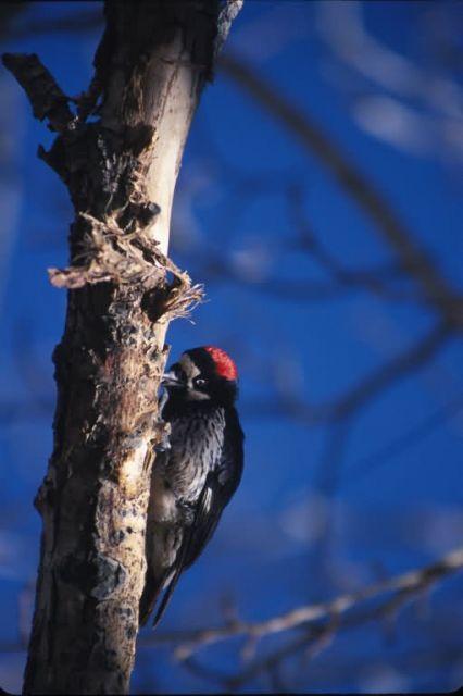 Acorn Woodpecker (Melanerpes formicivorus) Picture
