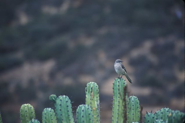 Mockingbird on Cactus Picture