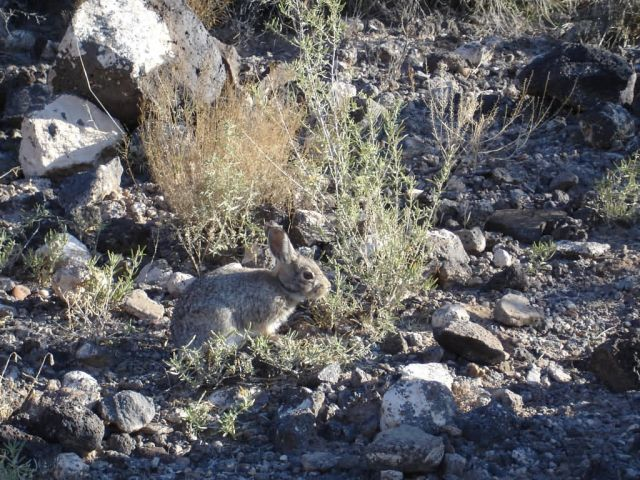 Cottontail (Sylvilagus sp.) Picture