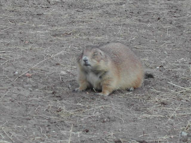 Black-tailed Prairie Dog ( Cynomys ludovicianus ) Picture