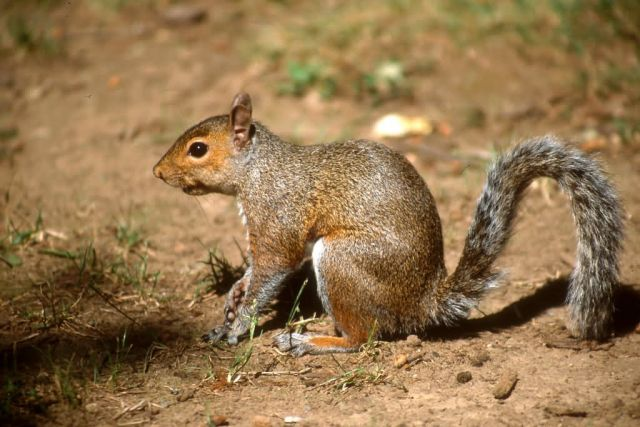 Eastern Gray Squirrel (Sciurus carolinensis) Picture