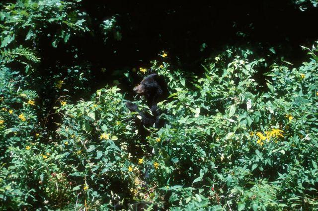American Black Bear (Ursus americanus) Picture