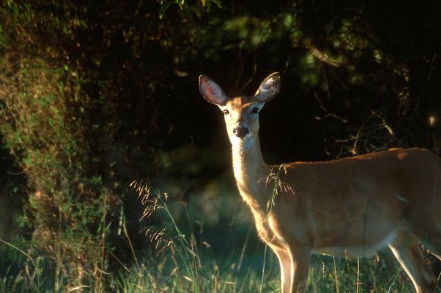 White-tailed Deer (Odocoileus virginianus) Picture