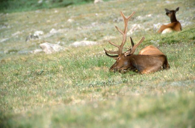 Elk (Cervus elaphus) Picture