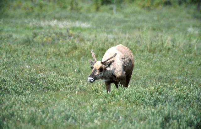 Caribou (Rangifer tarandus) Picture