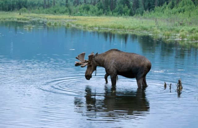 Moose (Alces alces) Picture
