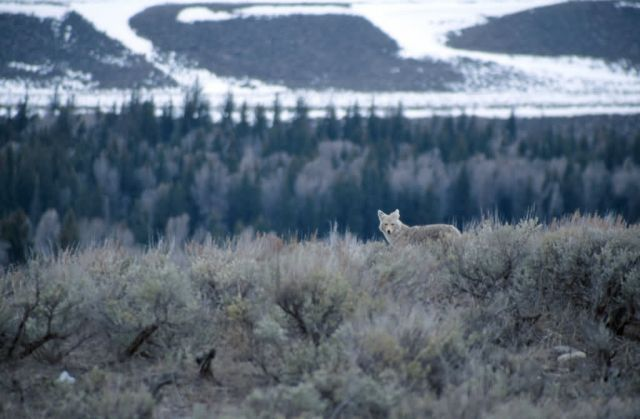Coyote (Canis latrans) Picture