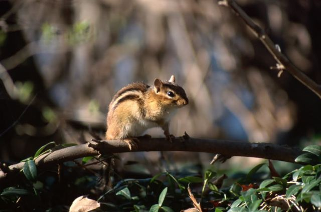 Least Chipmunk (Tamias minimus) Picture