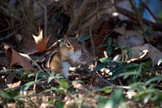 Least Chipmunk (Tamias minimus) Picture