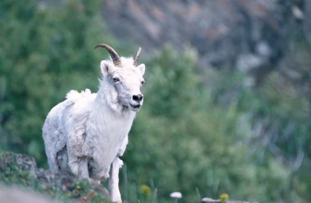 Dall's Sheep (Ovis dalli) Picture