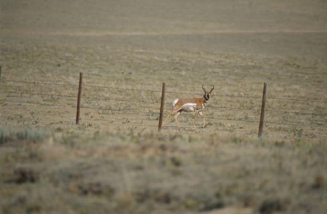 Pronghorn (Antilocapra americana) Picture