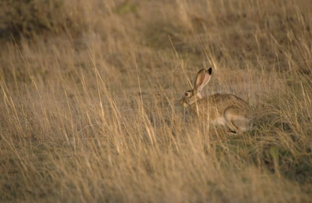Black-tailed Jack Rabbit (Lepus californicus) Picture