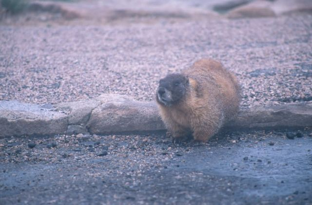 Yellow-bellied Marmot (Marmota flaviventris) Picture
