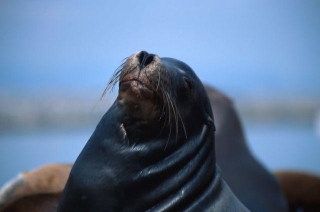 California Sea Lion (Zalophus californianus) Picture