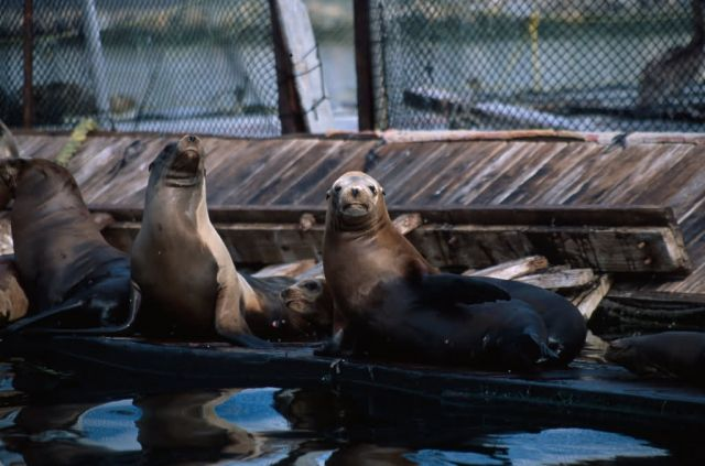 California Sea Lion (Zalophus californianus) Picture