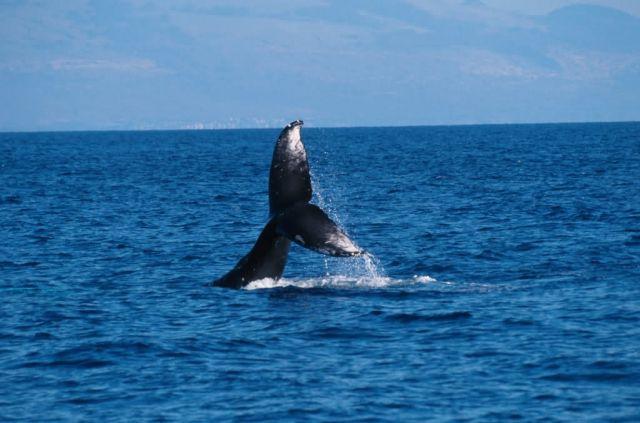 Humpback Whale (Megaptera novaeangliae) Picture