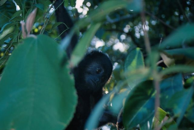 Mexican Black Howler Monkey (Alouatta pigra) Picture