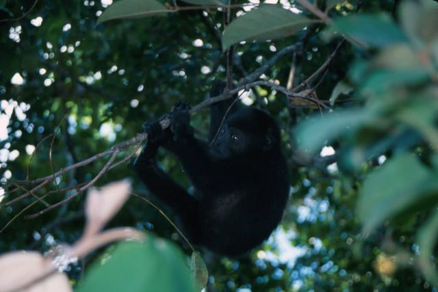 Mexican Black Howler Monkey (Alouatta pigra) Picture