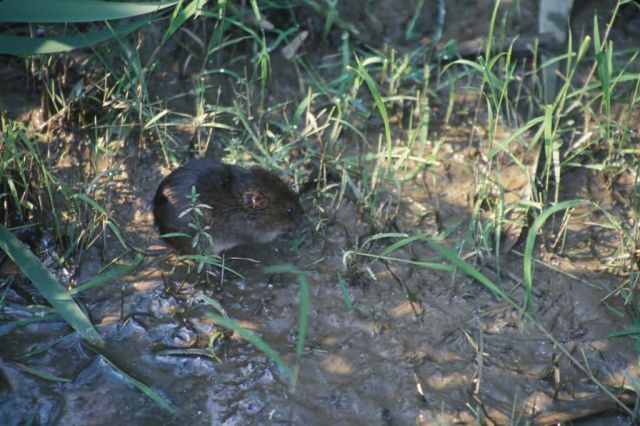 Meadow Vole (microtus pennsylvanicus) Picture