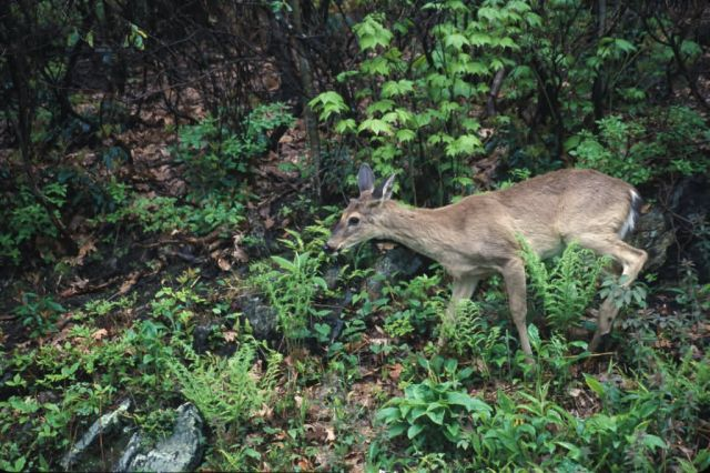 White-tailed Deer (Odocoileus virginianus) Picture