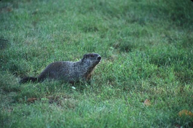 Woodchuck (Marmota monax) Picture