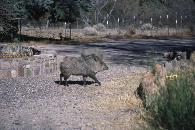 Collared Peccary (Pecari tajacu) Picture