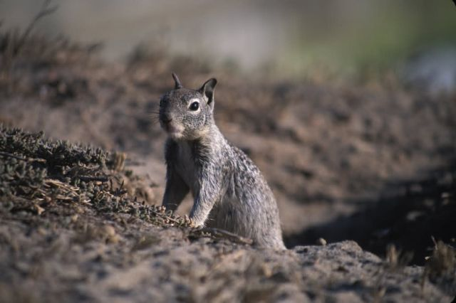 California Ground Squirrel (Spermophilus beecheyi) Picture