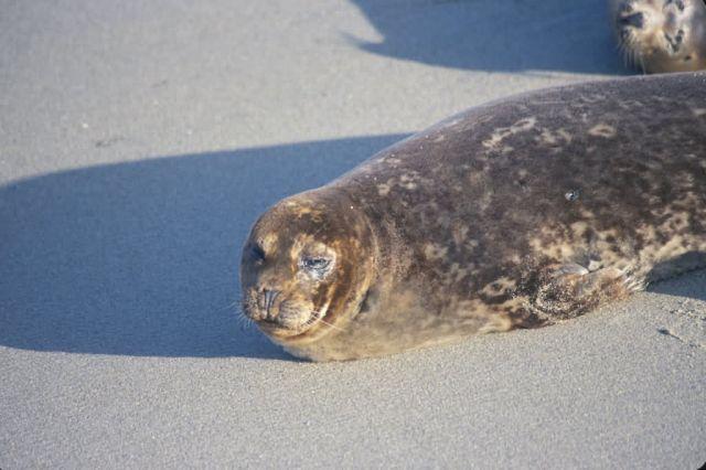 Harbor Seal (Phoca vitulina) Picture
