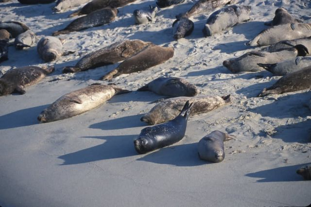 Harbor Seals (Phoca vitulina) Picture
